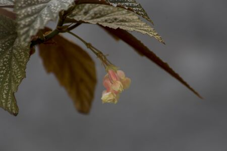 begonia flowers and leaves on gray background