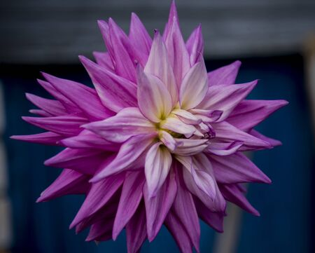 delicate annual dahlia flower outdoors