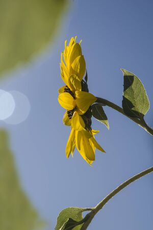 sunflowers on the branch fullsun Stock Photo