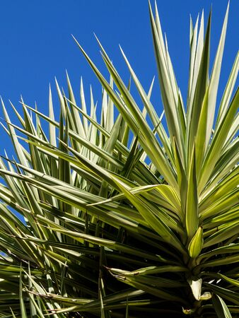 green yucca in full sun with blue sky