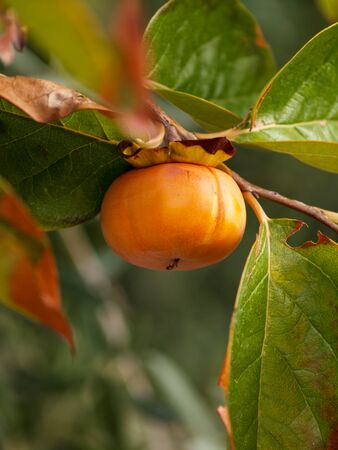 ripe persimmon on the branch with leaves