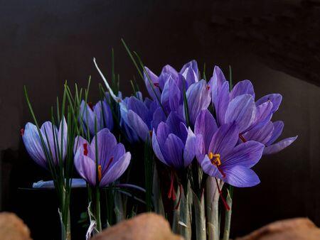 purple saffron flowers bunch at garden