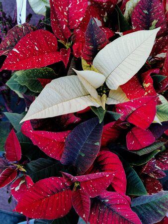 poinsettia, variegata natural a plena luz del día Foto de archivo