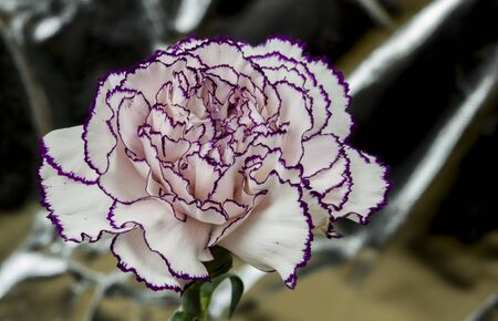 white carnation with garnet edges and bright abstract background