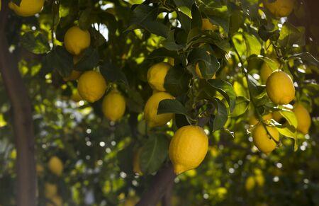 lemon tree branches with yellow ripe lemons