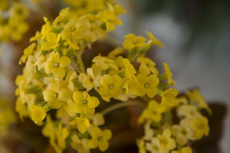 small yellow flowers of kalanchoe