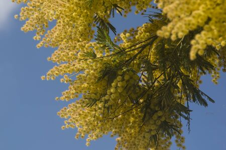 Flowered mimosa and blue sky in spring Archivio Fotografico