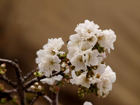 white cherry blossom on the  branch