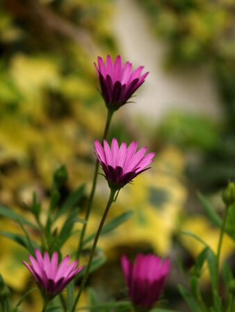 pink daisies of the Cape at garden