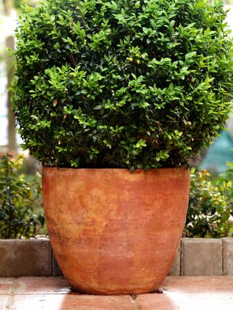 green buxus on a clay pot
