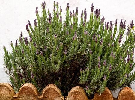 woolly lavender blossom plant at garden