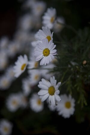 daisy waterfall in a corner of the dark garden Banque d'images
