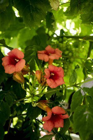 orange bignonias in the garden Stok Fotoğraf
