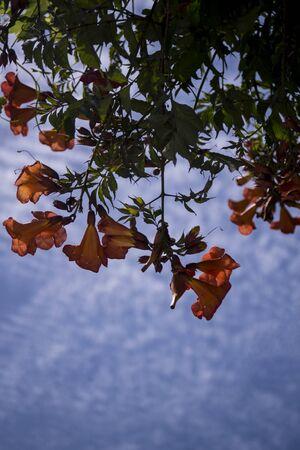 orange bignonias in the garden Stok Fotoğraf - 147979653