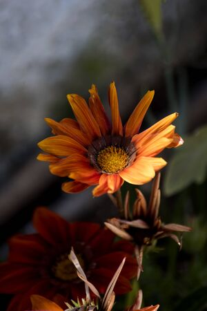 gazania flowers withering in the garden