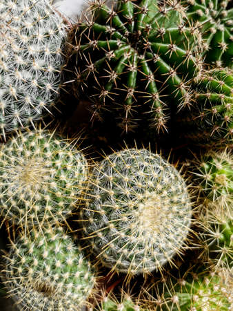 round cactus collection on pots Archivio Fotografico