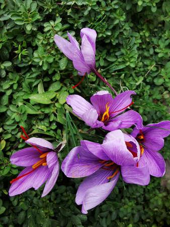 will saffron on green meadow