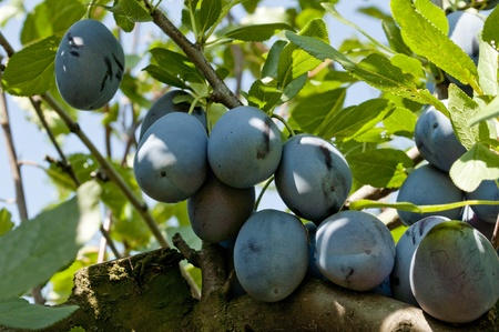 Fresh plums on the branch Stock Photo