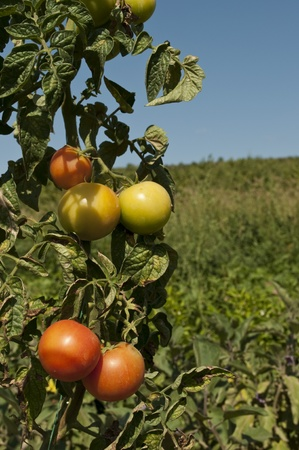 Tomatoes in garden Stock Photo