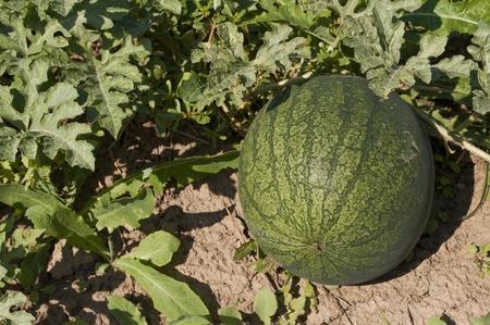 Watermelon in garden Stock Photo