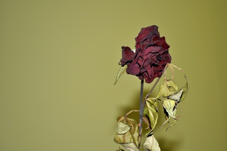 Dry rose with green background