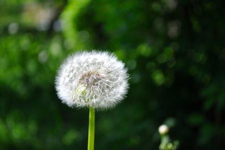 Dandelion puff in the garden Stock Photo