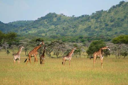 giraffes at serengeti national park, tanzania, africa