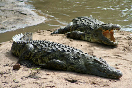 crocodiles in serengeti, tanzania Stock Photo