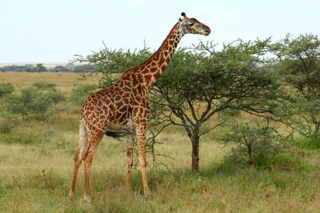 giraffes at serengeti national park, tanzania, africa photo