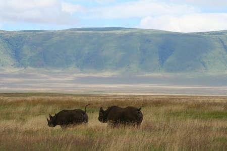 black rhinos in ngorongoro crater in tanzania, africa