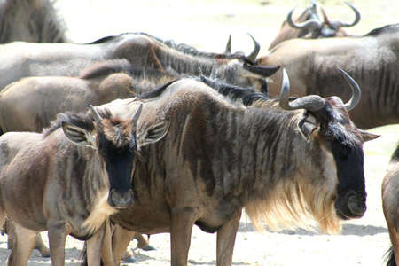 herd of wildbeasts in ngorongoro crater in tanzania, africa photo