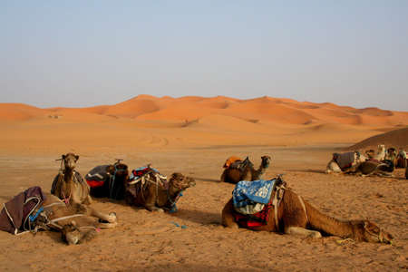 erg: Camels in Sand dunes of Erg Chebbi in the Sahara Desert, Morocco Stock Photo