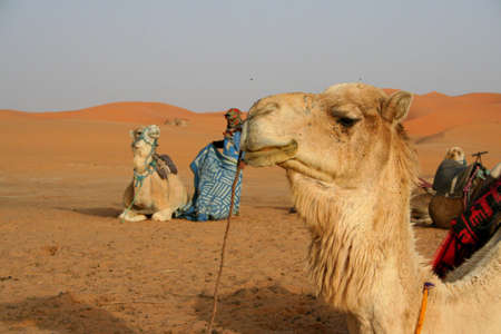 erg: camel and bedouin in Sand dunes of Erg Chebbi in the Sahara Desert, Morocco Stock Photo