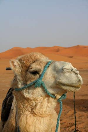 Camel in Sand dunes of Erg Chebbi in the Sahara Desert, Morocco photo