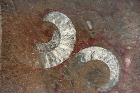 mineralized: Prehistoric Fossils in sedimentary rock background. Found in the south of morocco