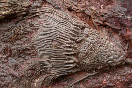 Prehistoric Fossils in sedimentary rock background. Found in the south of morocco