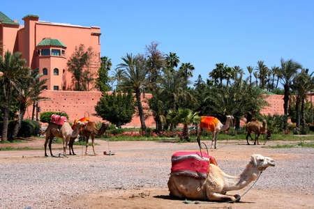 turrets: camels in front of PART OF CITY WALL MARRAKECH MOROCCO