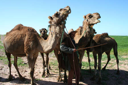 one humped: Camels in the moroccan desert Stock Photo