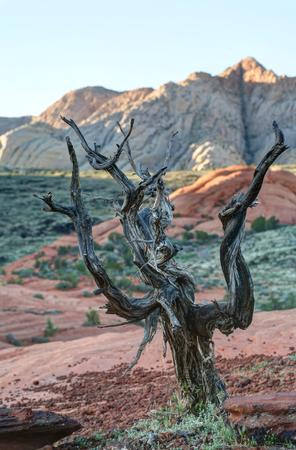 gnarled: Gnarled �rbol que crece encima de la arena petrificada dunas Snow Canyon State Park Utah