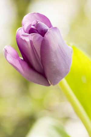 Vibrant purple tulips and green stalks arranged together Stock Photo