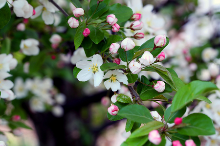 Flowering crab apple tree with white and pink petals