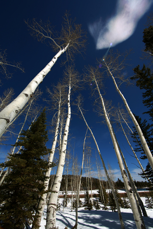 Aspens in spring as winter snow thaws on the Dixie National Forest scenic byway highway 14 Stock Photo