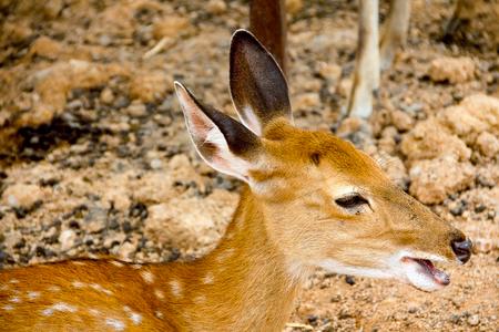 Brown Deer Standing eye looking for