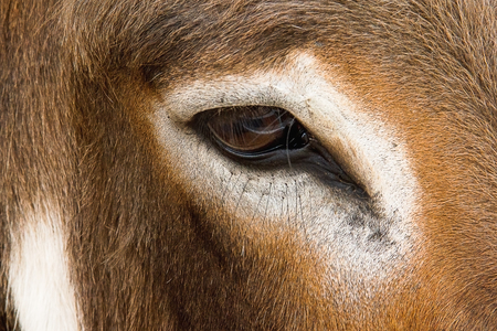 Closeup eye of cow looking for Stock Photo
