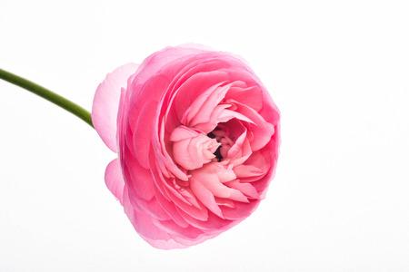 Rosa Blume Vollständig weißen Hintergrund Standard-Bild - 78288088