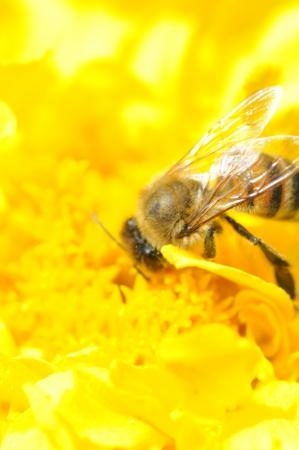 Bee on flower photo