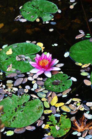 кувшинка: Водяная лилия