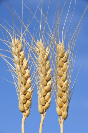Wheat spikes photo
