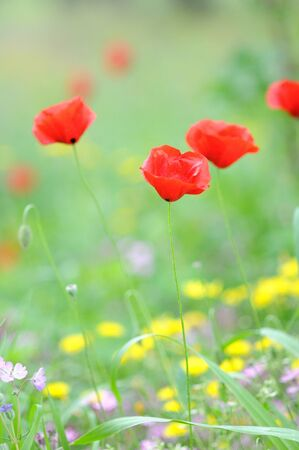 Corn poppy photo
