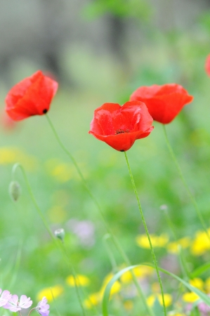 Corn poppy Stock Photo - 18873921